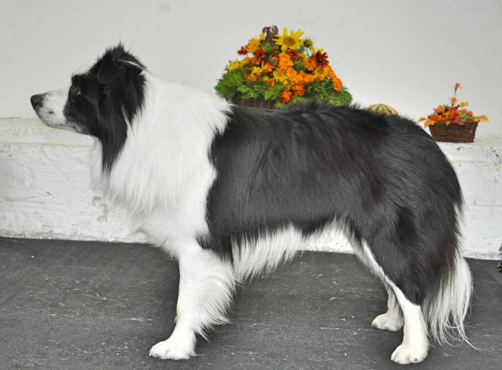 ARTORIUS Alpen Heart - chovný pes