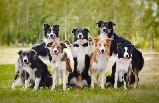 Border collie club Slovakia