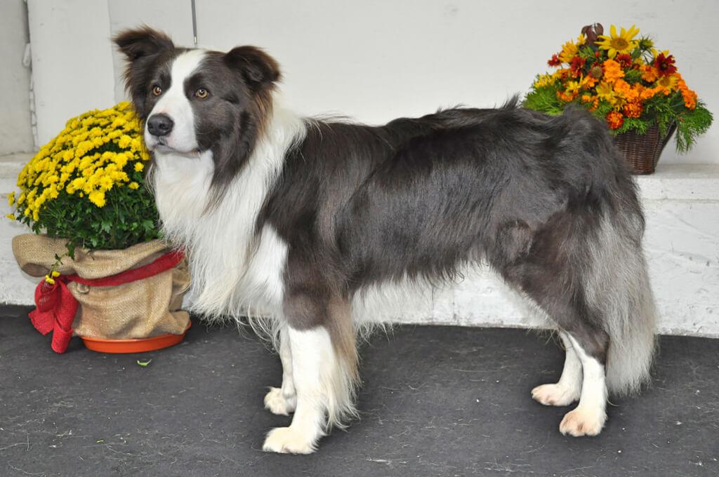 Chovný pes Border collie Jackpot Nebeský sen